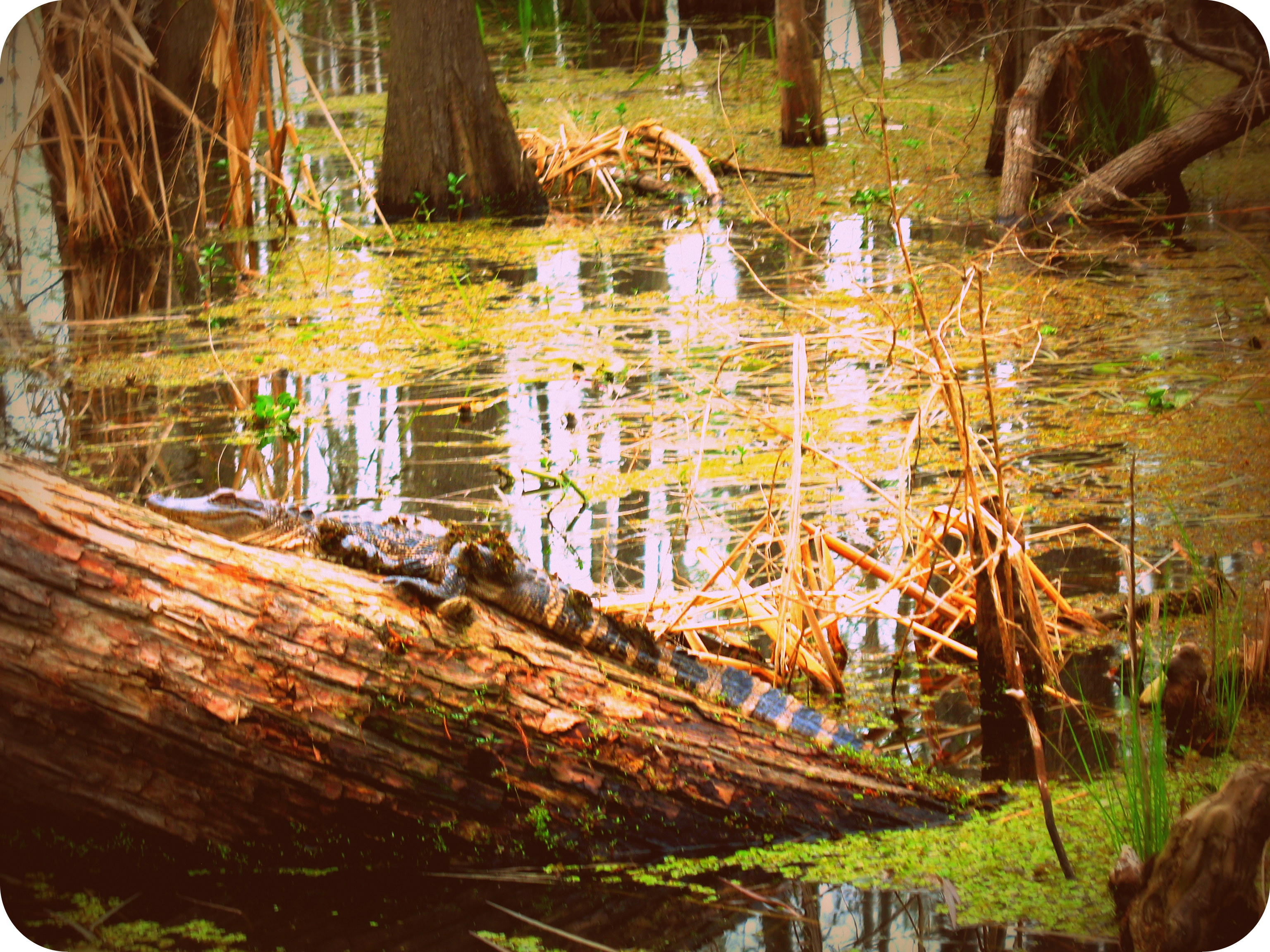 Checking out the gators in the Louisiana Swamp