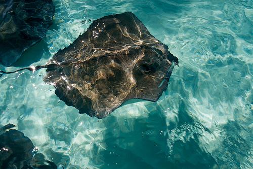 sting-ray-cayman-islands