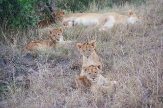 Africa Cubs
