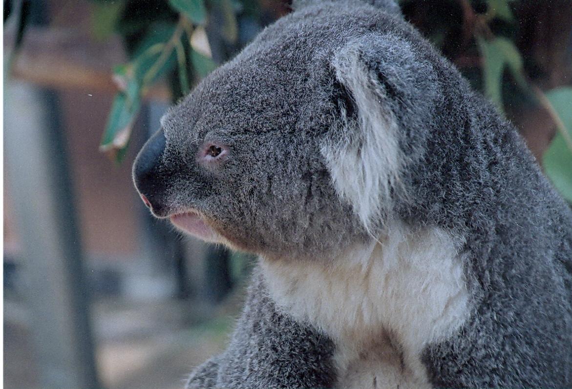 Koala 10001