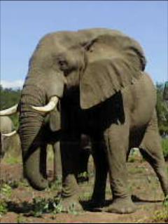 2015-12-08_5666a9ac9d81a_Elephant.jpg